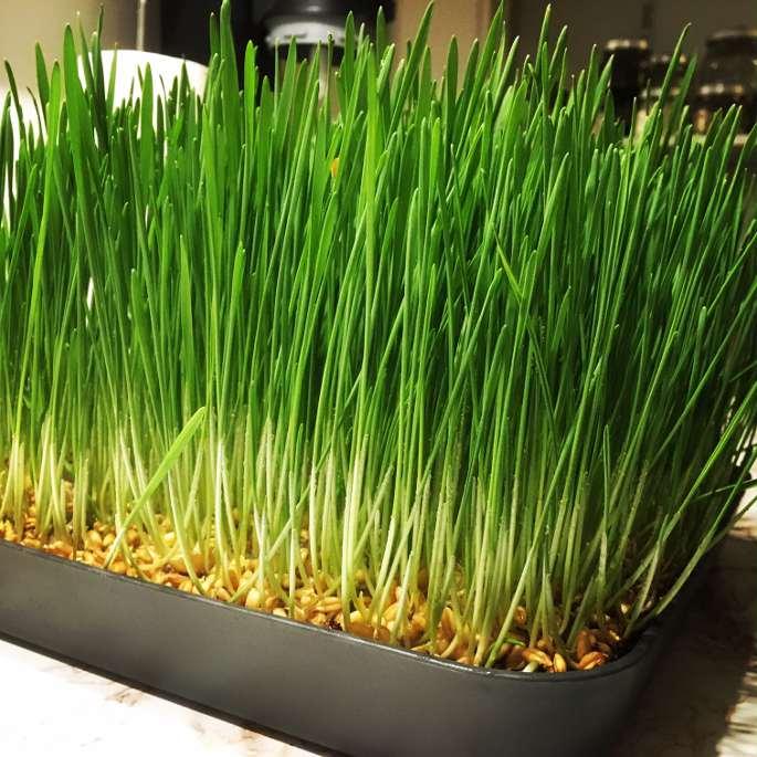 Weizengras selber anbauen