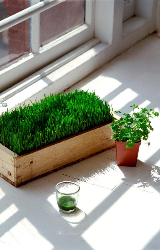 Slow Juicer Weizengras - anbauen vs. kaufen